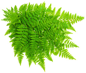 bunch leaf fern isolated on white background in macro lens shoot
