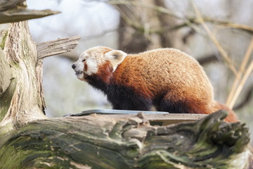 Red panda, Cotswold Wildlife Park, Costswolds, Gloucestershire, England, United Kingdom, Europe