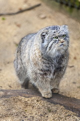 Pallas cat, Otocolobus manu, Cotswold Wildlife Park, Costswolds, Gloucestershire, England, United Kingdom, Europe