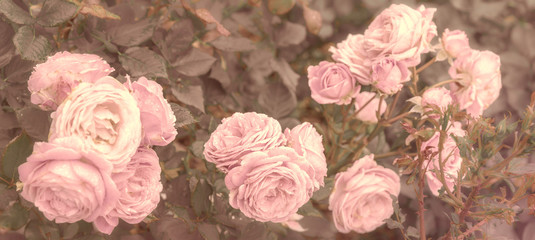 Old english roses with filter effect retro vintage style.Soft focus and blurred.