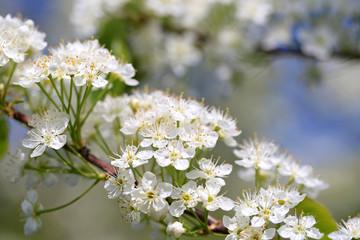 White Flowers of Prunus Close Up
