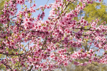 Peach flowers on branches