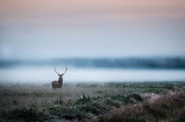 Poster de jardin Cerf Beautiful red deer stag on the field near the foggy misty forest landscape in autumn in Belarus.