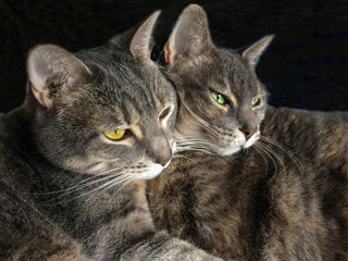 2 pretty cats face to face and cuddling against  black background.