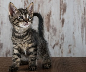 Few weeks old tabby kitten on white wooden background