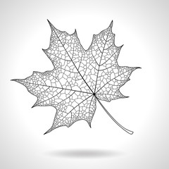 Skeleton maple leaf isolated