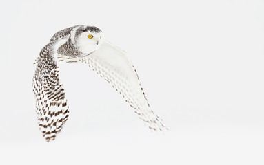 Snowy owl (Bubo scandiacus) isolated on a white background flies low hunting over an open snowy field in Canada