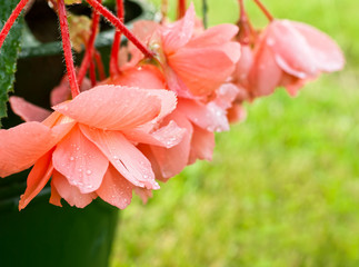 Begonia of coral color all in droplets after a rain. Shallow DOF