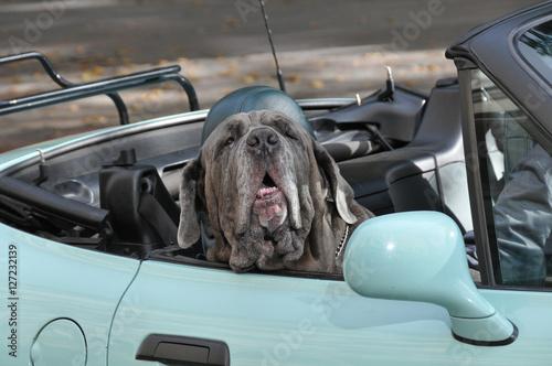grosser hund sitzt in einem auto auf dem beifahrersitz. Black Bedroom Furniture Sets. Home Design Ideas