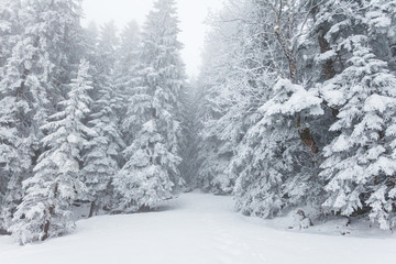 Conifer trees of a winter forest during winter covered with snow