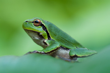 European green tree frog on clean green background