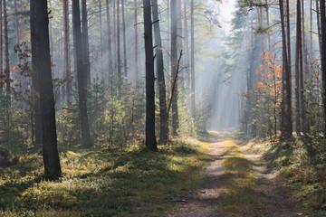 Mgła w lesie.