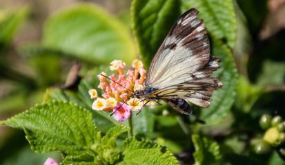 Lantana Camara wildflowers and butterfly