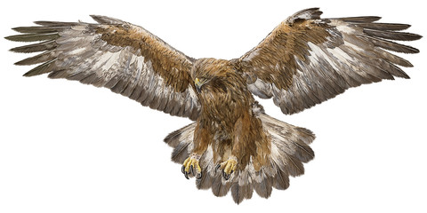Golden eagle landing hand draw and paint color  on white background vector illustration.