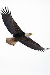 Bald Eagle tijdens de vlucht tegen witte Sky