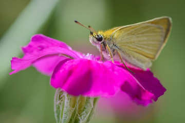 closeup of a brown butterfly on a pink flower blossom