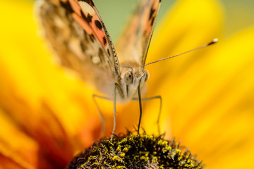 close up of a colourful butterfly (Vanessa cardui) on a yellow flower, this buttelfly is known as painted lady or cosmopolitan