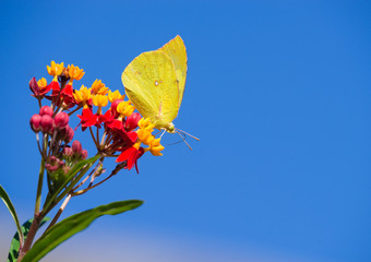 Southern Dogface (Zerene cesonia) butterfly feeding on Tropical Milkweed flowers. Blue sky background with copy space.