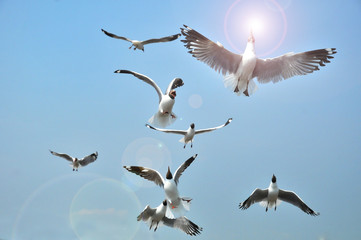 Black headed Gull flying on blue Sky. Birds Feeding