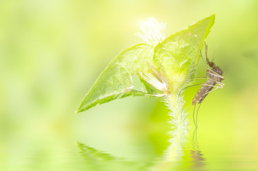 Macro and depth of field (DOF) effect of mosquito with water reflection - Mosquito resting on green leaf