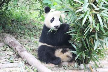 Baby Panda is eating Bamboo Leaves