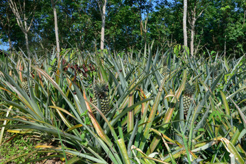 Fresh pineapple fruit on bush with leaves