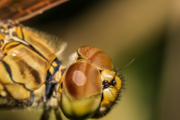 Close up Dragonfly macro view in nature