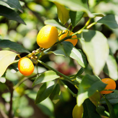 Kumquat tree on farm