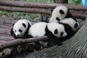 A Plie of Baby Pandas