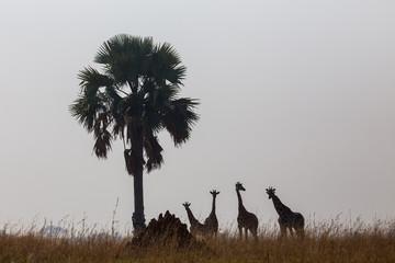 Giraffes in the African savannah