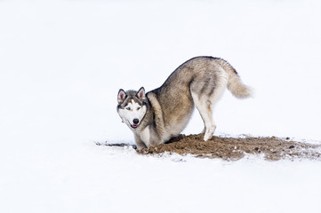 Dog digging in snow