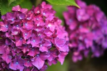 双子の紫陽花