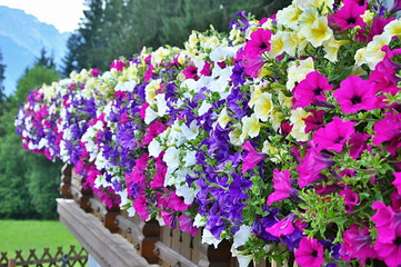 Baskets of hanging petunia flowers