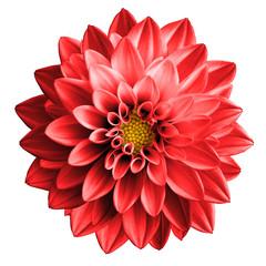 Poster Dahlia Surreal dark chrome red flower dahlia macro isolated on white
