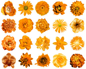 Collage of natural and surreal orange flowers 20 in 1: peony, dahlia, primula, aster, daisy, rose, gerbera, clove, chrysanthemum, cornflower, flax, pelargonium, marigold, tulip isolated on white