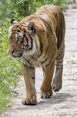 Call me Tiger