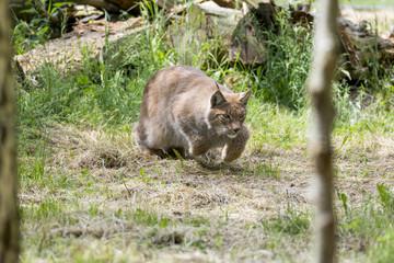 Sibirischer Luchs Lynx