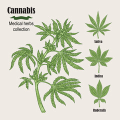 Hand drawn cannabis plant. Medicinal herbs collection. Vector
