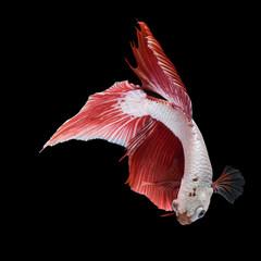 Foto op Canvas Vissen Pose of fighting fish, Fighting fish on balck background