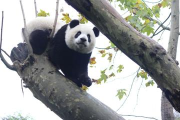Baby Panda on the tree