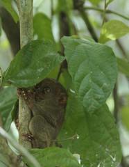 monkey tarsier II-philippines