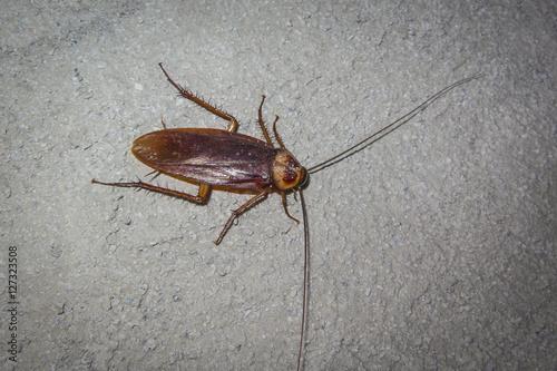 Kakerlake Die Fliegen Und Beissen Kann Im Suden Der Philippinen