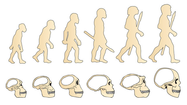 Evolution Of The Skull. Human Skull. Australopithecus. Homo Erectus. Neanderthalensis. Homo Sapiens. Vector Collection. Illustration On White Background. Darwin'S Theory. The History Of Mankind.