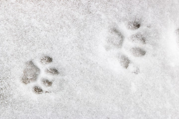 two feline footprints in the snow