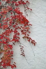 Detail of autumnal red ivy on painted wall. Vines leaves on white plas