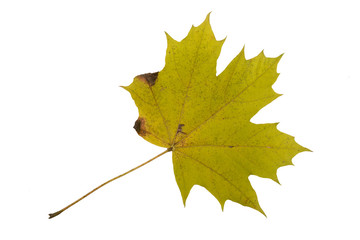 Autumn Color Maple Leaf. Isolated on White Background.