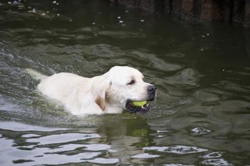 Labrador Retriever Fetching A Tennis Ball From A Lake