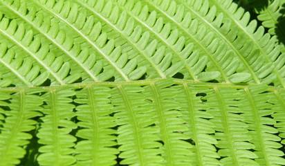 Fresh green fern leaves in closeup