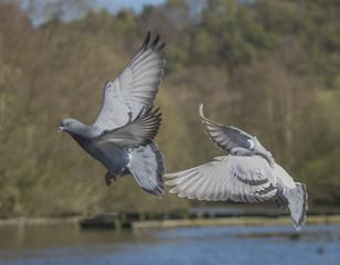 Pigeon Pair Taking Off