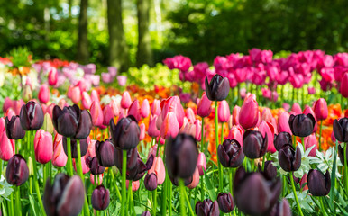 Tulip. Flower field of colourful tulips in spring. Colorful tulips in the Keukenhof garden, Netherlands. Fresh blooming tulips in the spring garden. Spring landscape. Tulip Flower Field. Black tulips.